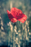 Poppy. On the blurred background Stock Image