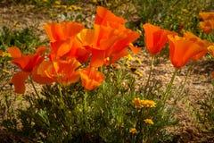 Poppy Bouquet Fotografía de archivo