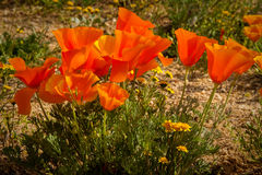 Poppy Bouquet Stock Photography