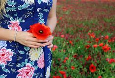 Poppy bouquet in girl hand. View from above. Spring flowers. Vacation and relaxation. Copy Space. The concept of the stock image