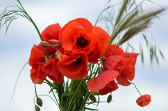 Poppy bouquet Stock Photos