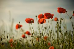 Poppy brothers. Group poppy at sunset in Slovakia Royalty Free Stock Images