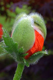 Poppy in bud. Red poppy bud unopened with dew drops Royalty Free Stock Photo