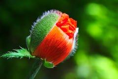 Poppy Bud. Waiting to burst open stock images