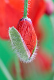 Poppy Bud Stock Photos