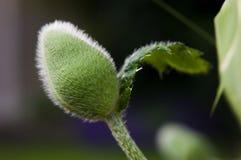 Poppy Bud Royaltyfri Fotografi