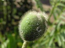poppy bud Zdjęcie Stock
