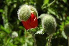 Poppy Bud. An Oriental poppy about to bloom Stock Photos