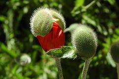 Poppy Bud. An Oriental poppy about to bloom stock photos