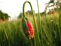 Poppy Bud Fotos de archivo libres de regalías