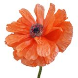 Bright red poppy flower isolated on a white background stock image