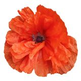 Bright red poppy flower isolated on a white background royalty free stock photo
