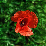 Poppy bud on the green grass background, view from above Stock Photo