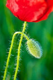 Poppy and Bud Stock Images