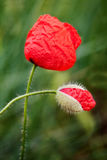 Poppy and Bud Stock Photos