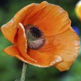 Poppy bud Royalty Free Stock Image