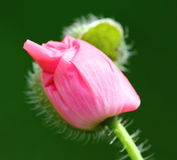 Poppy bud Royalty Free Stock Photos