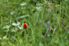 Poppy bud and poppy pod Royalty Free Stock Images