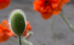 Poppy bud Royalty Free Stock Images