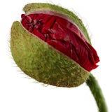 Poppy bud Stock Image