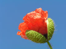 Poppy bud with stalk. Against blue sky Stock Images