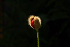 Poppy bud stock photo
