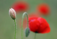 Poppy buds Stock Images