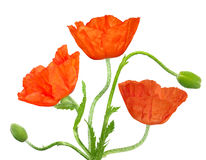 Poppy with buds Royalty Free Stock Photos