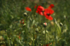 Free Poppy Buds In The Meadow, Papaver Rhoeas Close Up Stock Photo - 91828460