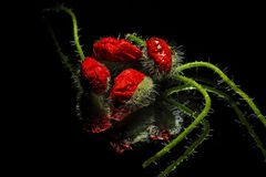 Poppy buds Royalty Free Stock Images