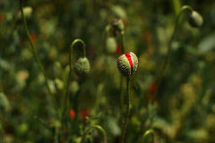 Poppy buds in the meadow, Papaver rhoeas Close Up Stock Image