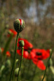 Poppy buds in the meadow, Papaver rhoeas Close Up Stock Photo