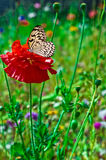 Poppy and Butterfly Royalty Free Stock Image