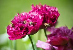 Free Poppy Called Purple Peony With Bees Pollinating Flower. Royalty Free Stock Photo - 73107425
