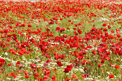 Poppy and camomile flowers field Royalty Free Stock Photos