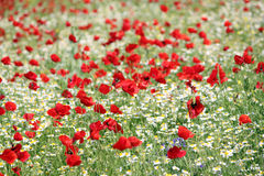 Poppy and camomile wild flowers Royalty Free Stock Images