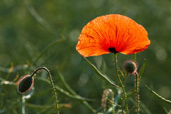Poppy in a canola field Royalty Free Stock Photography