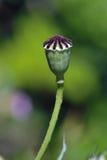 Poppy Capsule Imagenes de archivo