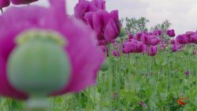 Poppy capsule between blooming purple poppies, zoom in, out. Maturing green poppy capsule between blooming purple poppies, close-up, zoom in, zoom out. Papaver stock footage