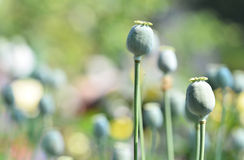 Poppy capsule Royalty Free Stock Photo