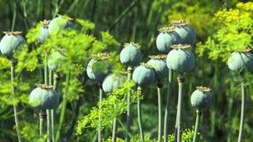Poppy capsule stock video footage