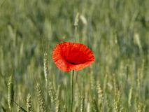Poppy in cereal Royalty Free Stock Images