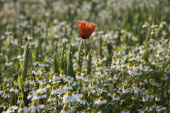 Poppy and chamomile Stock Image