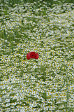 Poppy in chamomile field. Poppies or wild roses are herbaceous annual, biennial or short-lived perennial plants. Some species are monocarpic, dying after Royalty Free Stock Image