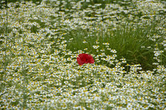 Poppy in chamomile field. Poppies or wild roses are herbaceous annual, biennial or short-lived perennial plants. Some species are monocarpic, dying after Stock Photos