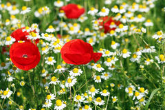 Poppy and chamomile flowers Stock Photo