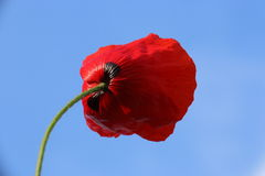 Poppy in the city. Poppy on the background blue sky Stock Image