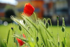 Poppy in the city Royalty Free Stock Photography