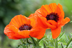 Poppy close up Royalty Free Stock Image