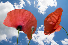 Poppy close up Royalty Free Stock Photo